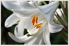 photo of a white lilly